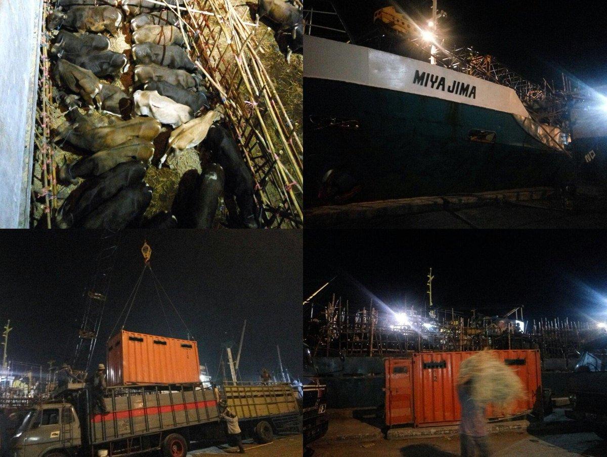 Bongkar Muat Sapi di Pelabuhan Kalimas Telah Memperhatikan Animal Welfare