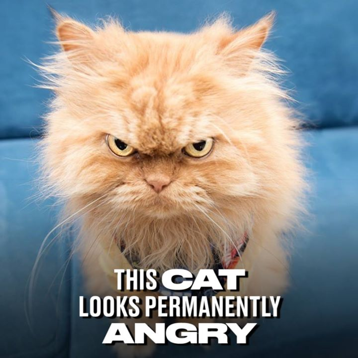 Garfi MeetGarfi Twitter - Garfi is officially the worlds angriest cat