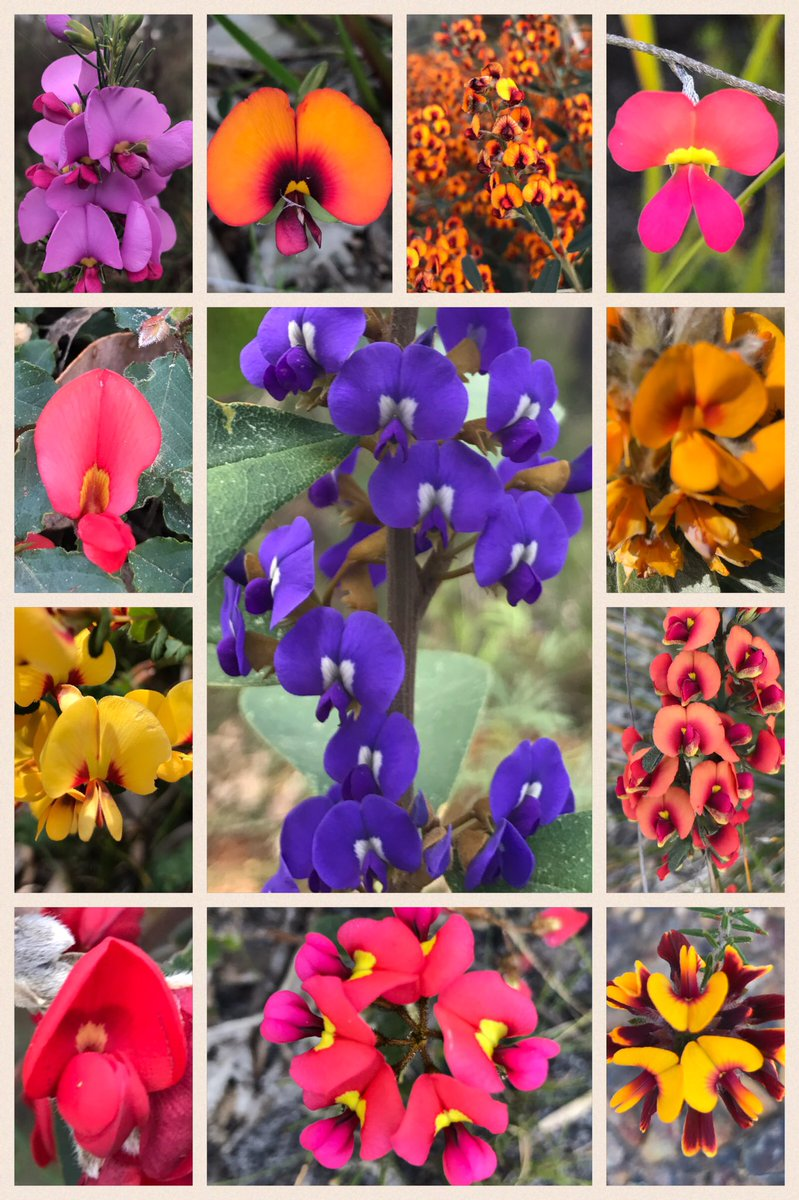 Fantastic #Fabaceae of south #WesternAustralia. Not only are they extravegent in colour but most produce ridiculous numbers of #flowers<br>http://pic.twitter.com/fJbc59ik4t