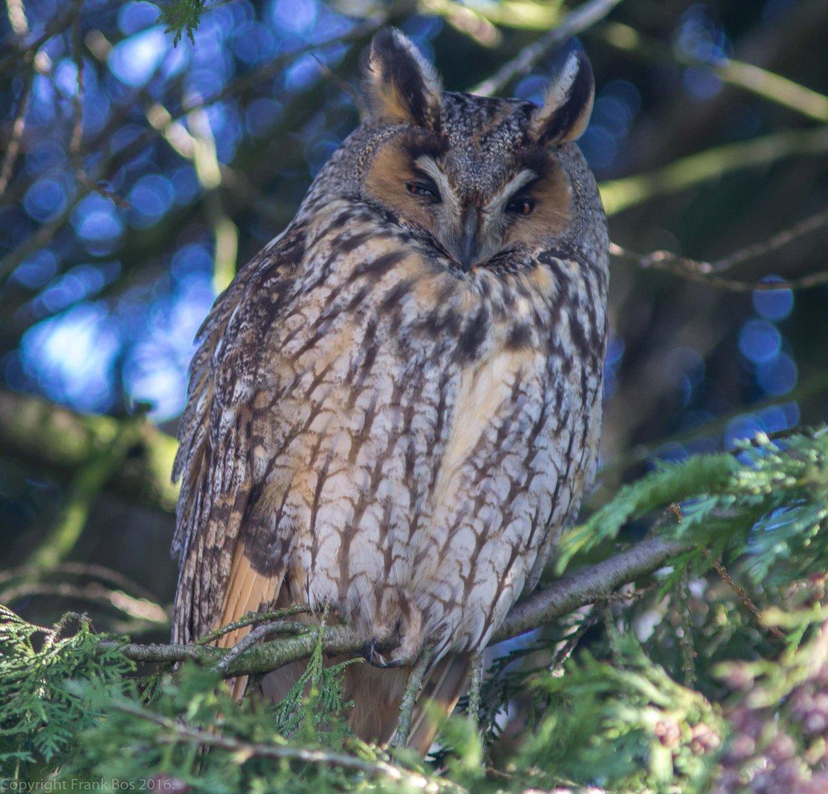 Ransuil, Long-eared Owl, #Birds <br>http://pic.twitter.com/pFYhwzHlsl