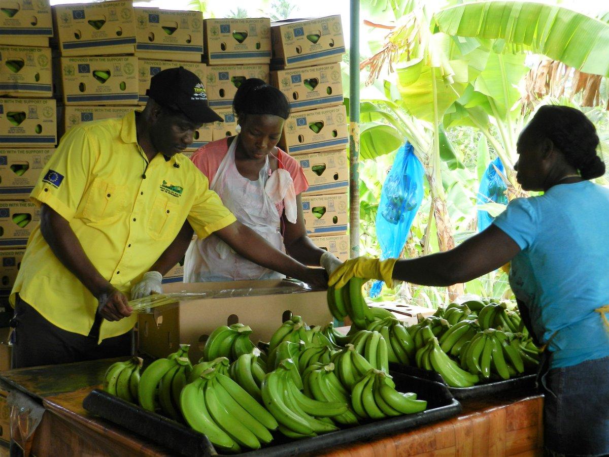 Caribbeannewsservice on twitter jamaica banana and plantain caribbeannewsservice on twitter jamaica banana and plantain farmers achieve globalgap certification httpstdroyavznts xflitez Gallery