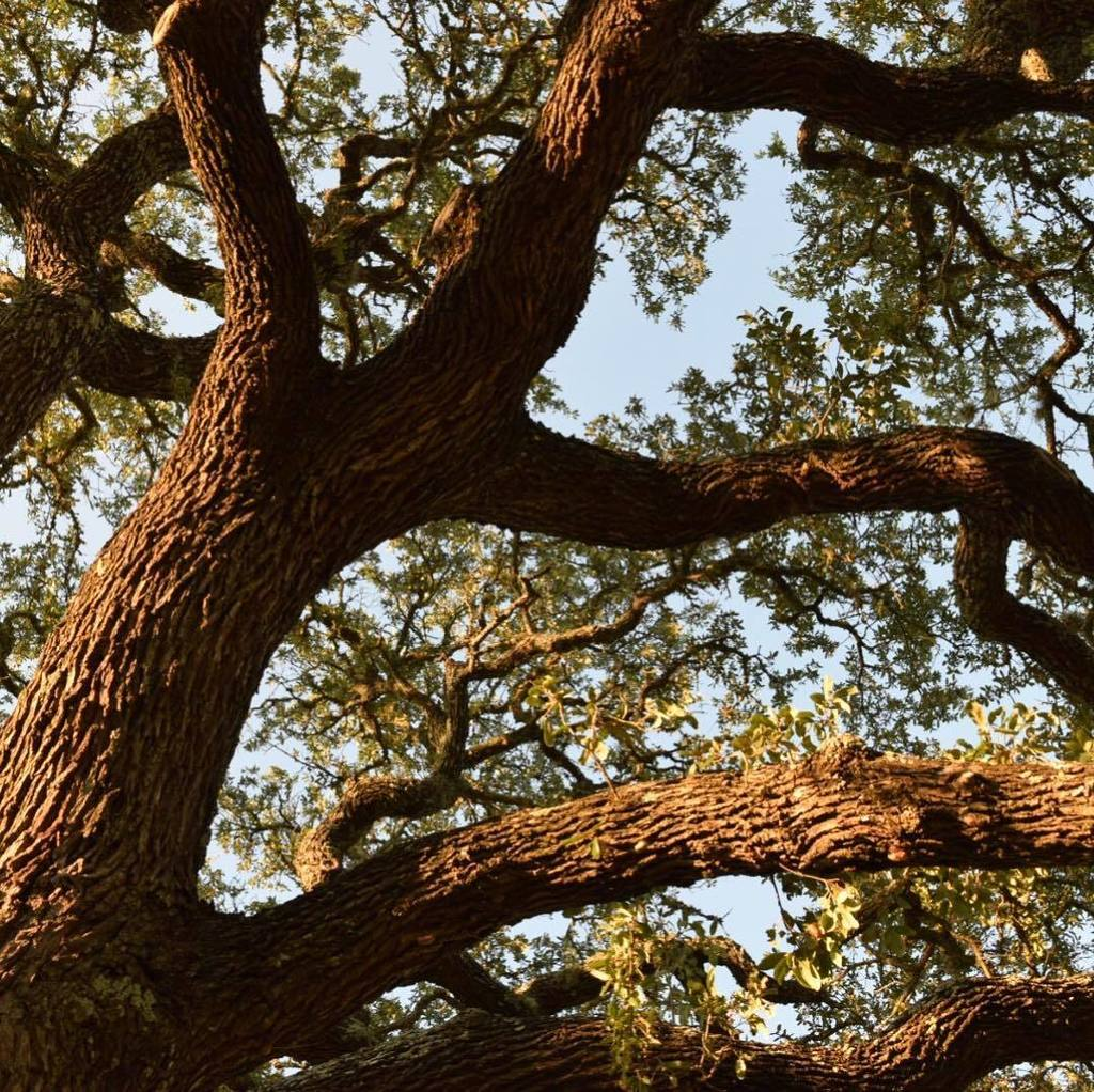 Good morning, from Texas. Every area has their special tree. In the #HillCountry it&#39;s the #LiveOak. Snarly and tough and beautiful (some mi… <br>http://pic.twitter.com/AtVTov29EB