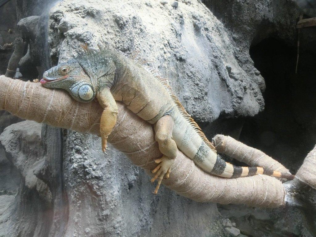 おはようございます! 本日は開園を一時間延長して、上野動物園開園です! グリーンイグアナもやる気満々…