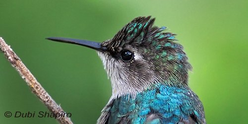 The #BeeHummingbird, found only in Cuba, is the smallest bird in the world. #ornithology  http:// bit.ly/2f1XY07  &nbsp;  <br>http://pic.twitter.com/nTUObCiZLP