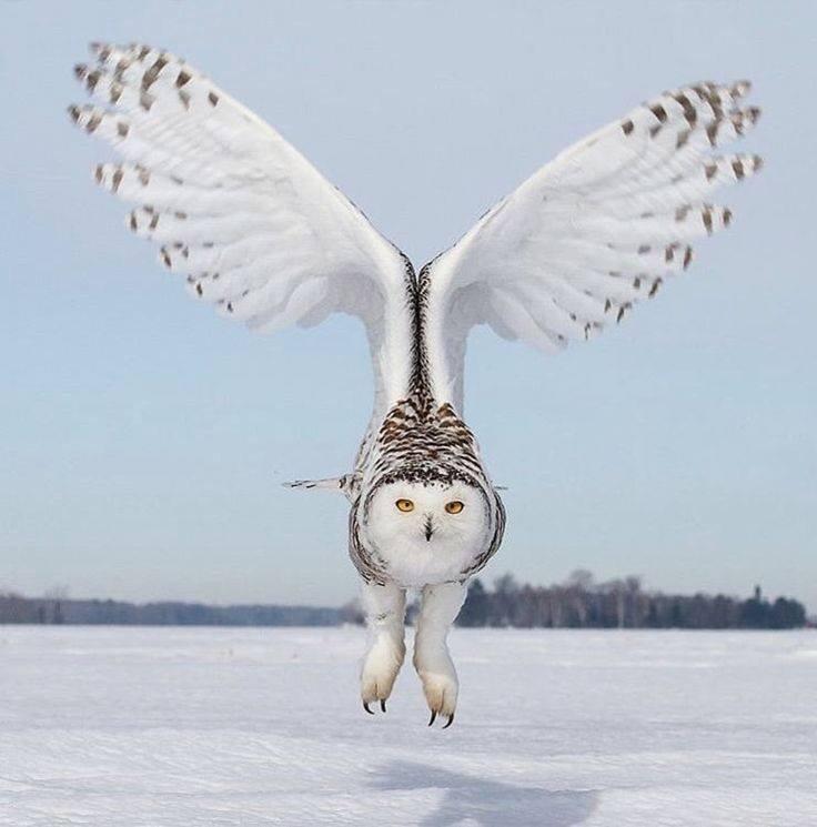 Snowy owl cramlington