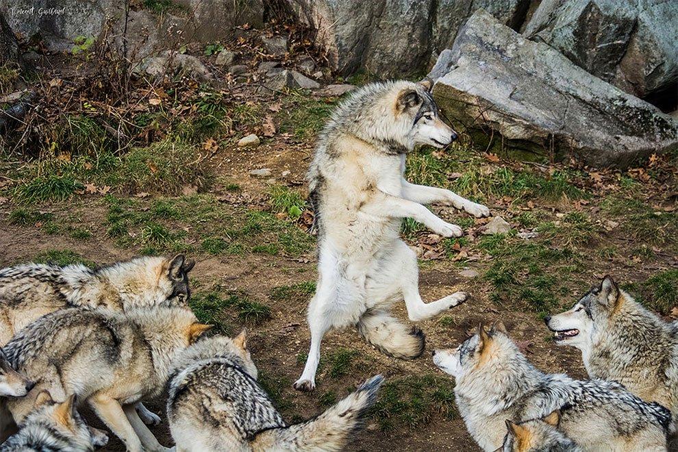 Картинки с прикольными волками, стальной свадьбой