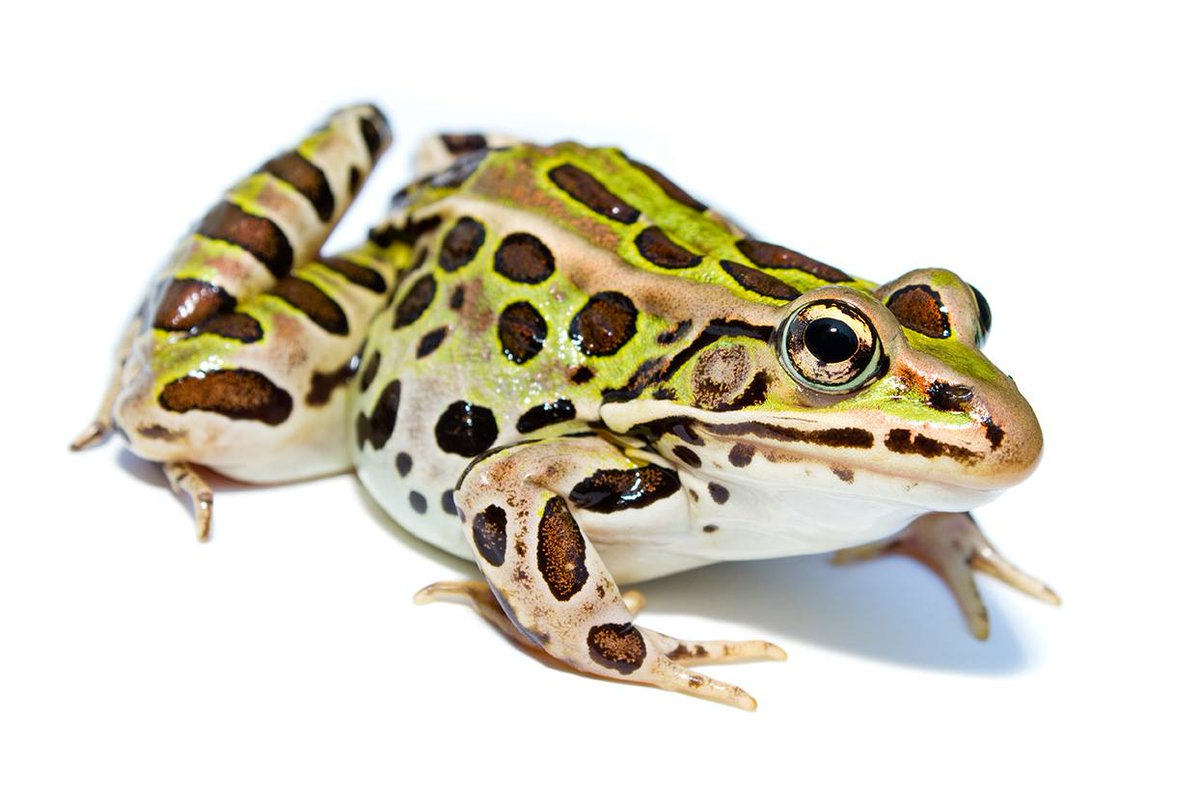 The northern leopard #frog uses its eyes to swallow prey--retracting them into its head to force food down! <br>http://pic.twitter.com/PQiUS2o2KX