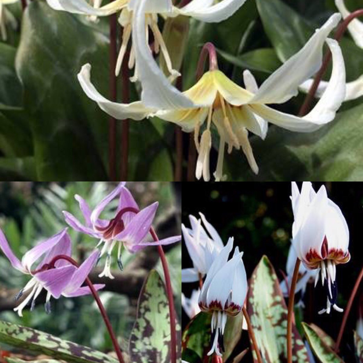 Phoenix perennials on twitter order rare bulbs now erythronium erythronium have nodding lily like flowers plant w hostas and toadlilies springbulbs garden bulbs fawnlily httpstvlzklbtw33 izmirmasajfo Image collections