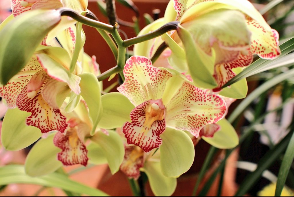 Cymbidium Flamingo Isle  snapped at the autumn orchid show at Safari centre. #Orchids #FlowerReport #green #pink<br>http://pic.twitter.com/Z5fb4WSXvQ