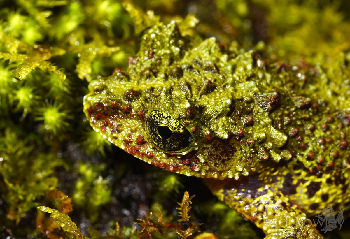 The Chapa Moss #Frog (Theloderma bicolor). Wonder what they&#39;re trying to camouflage themselves as? ;) #Vietnam<br>http://pic.twitter.com/RcxUhJKA8A