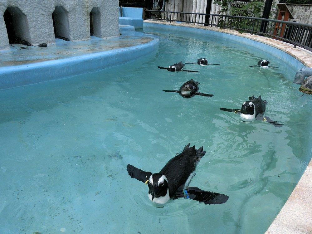 ケープペンギンの編隊飛行!#おはようございます #上野動物園 pic.twitter.com/INQiqJ9Lj6