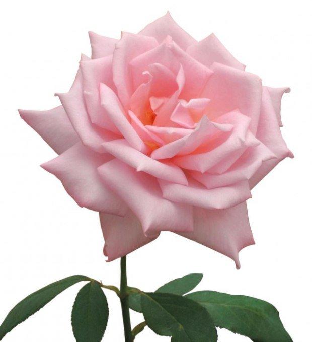 Картинки с анимацией с розовыми розами