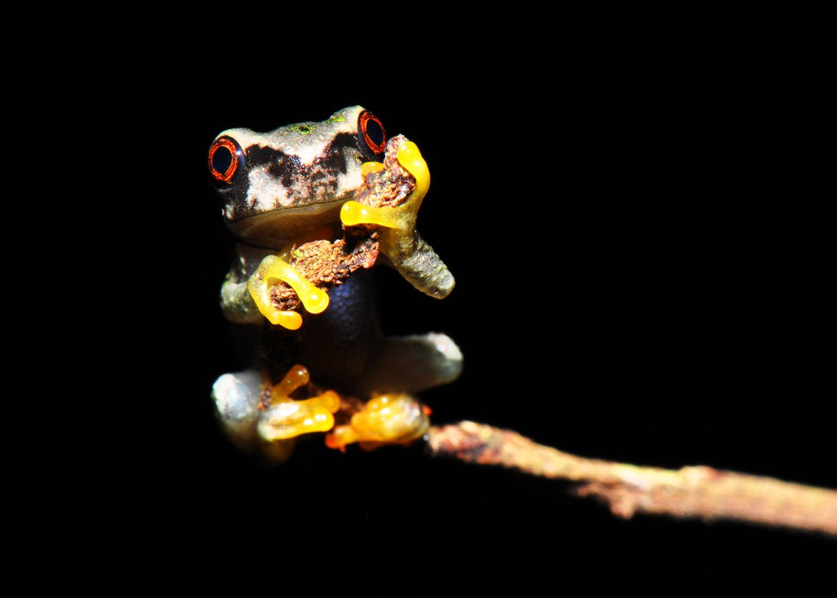 And this critically endangered #frog is found nowhere in the world outside this one small cloud forest. Species: Plectrohyla dasupus #HARCC <br>http://pic.twitter.com/WG5rsUMgB7