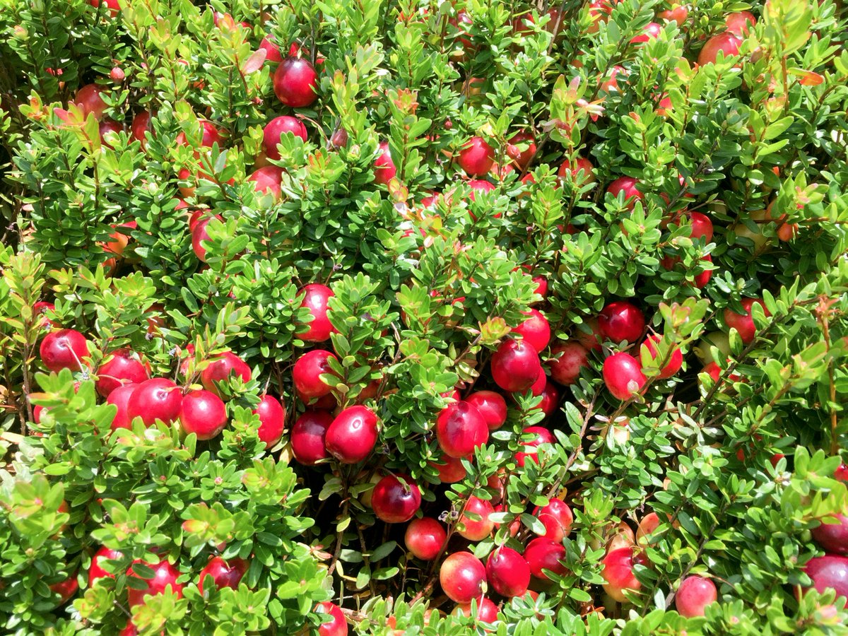 Hortau On Twitter Real Time Frost Alerts And Automation Remote Start Help Midwest Cranberry Growers Catch Protect Their Crop Instantaneouslypic