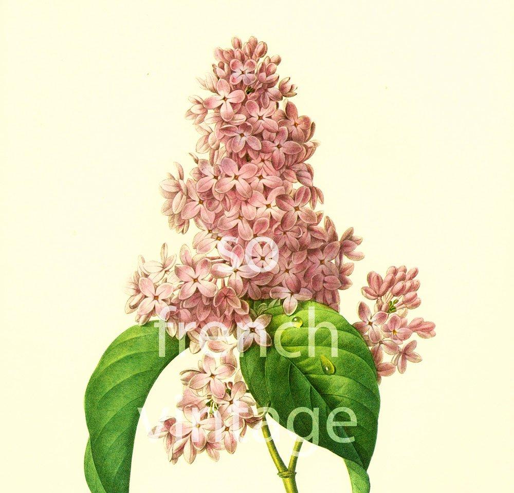 Lilac Syringa vulgaris Large Size Pierre-Joseph Redoute French botanica…  http:// tuppu.net/770da53c  &nbsp;   #Etsy #FlowerPrints <br>http://pic.twitter.com/lXDymwBcXL