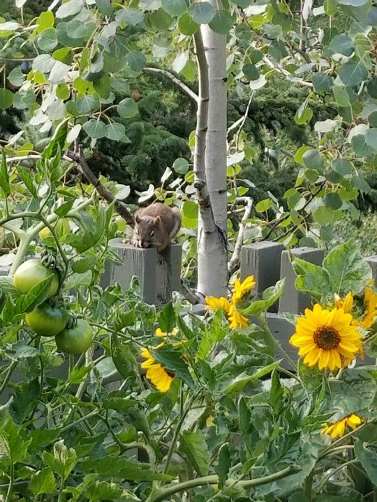 I keep catching this squirrel drooling over our veggies and sunflowers