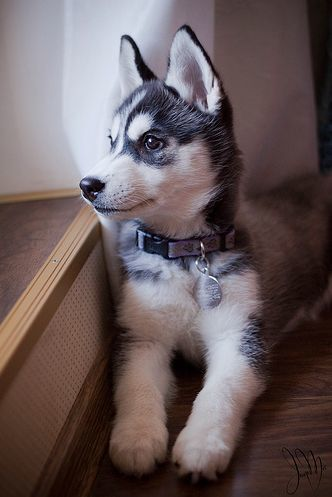 For a siberian husky puppy