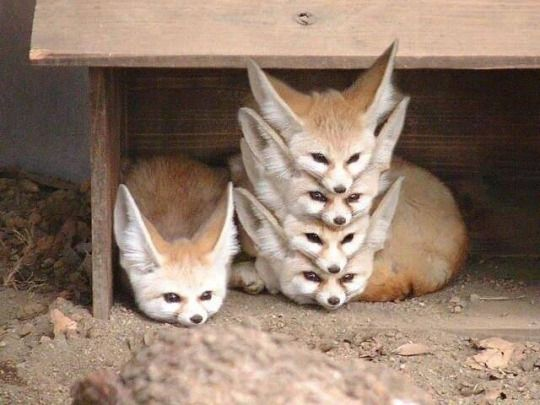 Dan Chaon On Twitter May I Suggest The Fennec Fox