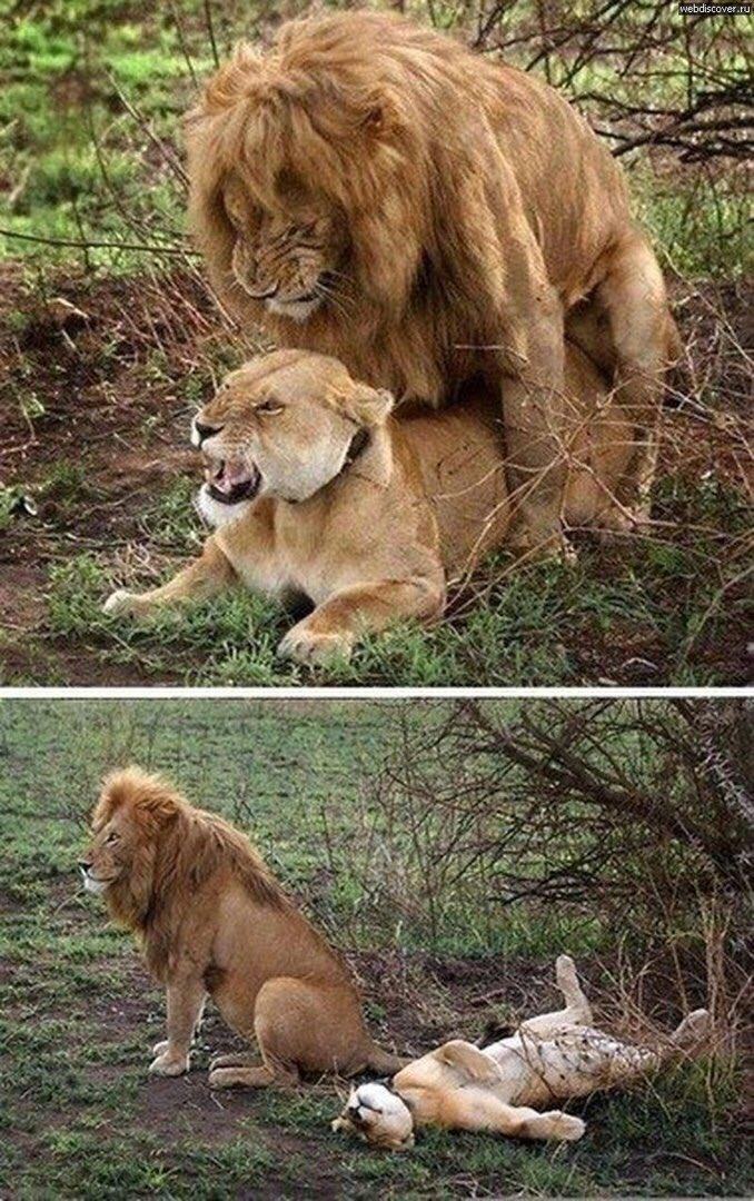 картинка львов мой что хочу то и делаю