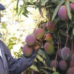 Hot weather sweetens harvest for Kenya's mango farmers https://t.co/m7HnJGkU0y #climate #agriculture #resilience