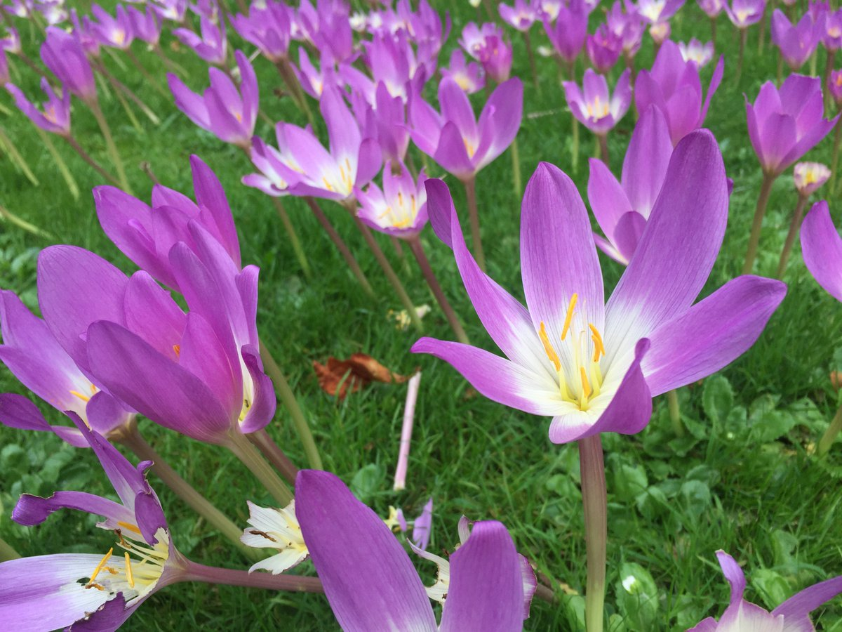 naked ladies the other name for autumn crocuses this one is taken hortusleiden flowerfriday httpstcolwiiesfa7t