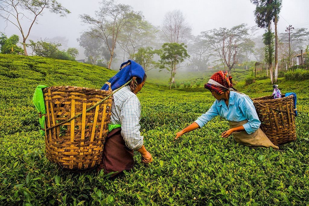 tea cultivation in assam