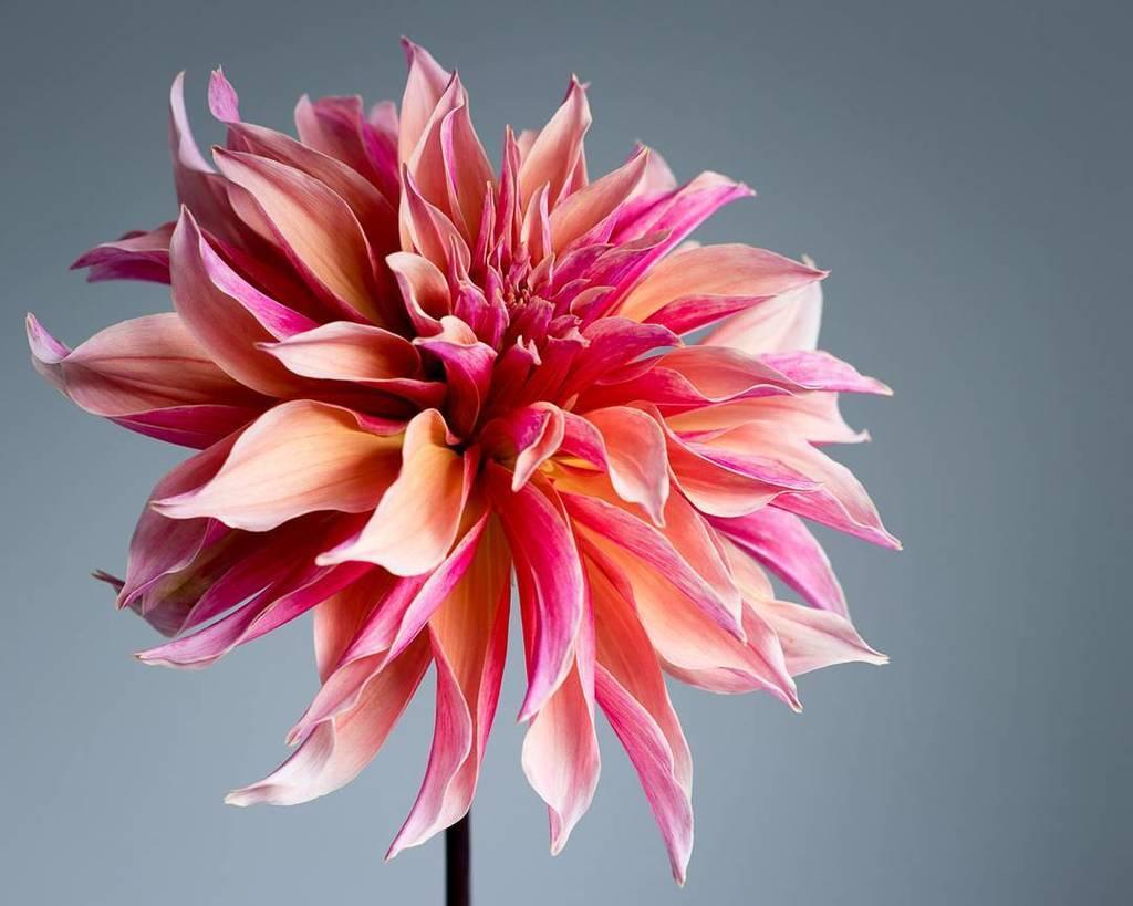 Goodmorning! Today&#39;s dahlia: Labyrinth . . . . #dahlias #dahlia #dahliagrower #dahlialove #seedscolor #dsfloral #…  http:// ift.tt/2wgxKNH  &nbsp;  <br>http://pic.twitter.com/UmfR0VvKun