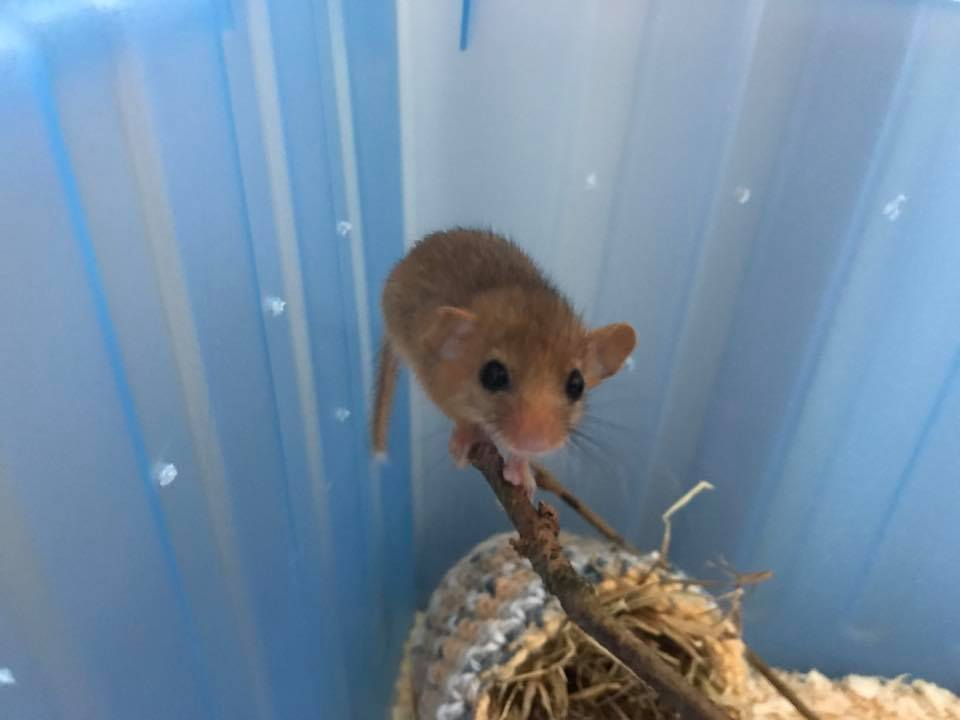 test Twitter Media - Our little hazel dormouse, she came in as a baby a few weeks ago. She's doing really well now and is very feisty! #wildlife 🐁😍 https://t.co/2xYD6zAcmU