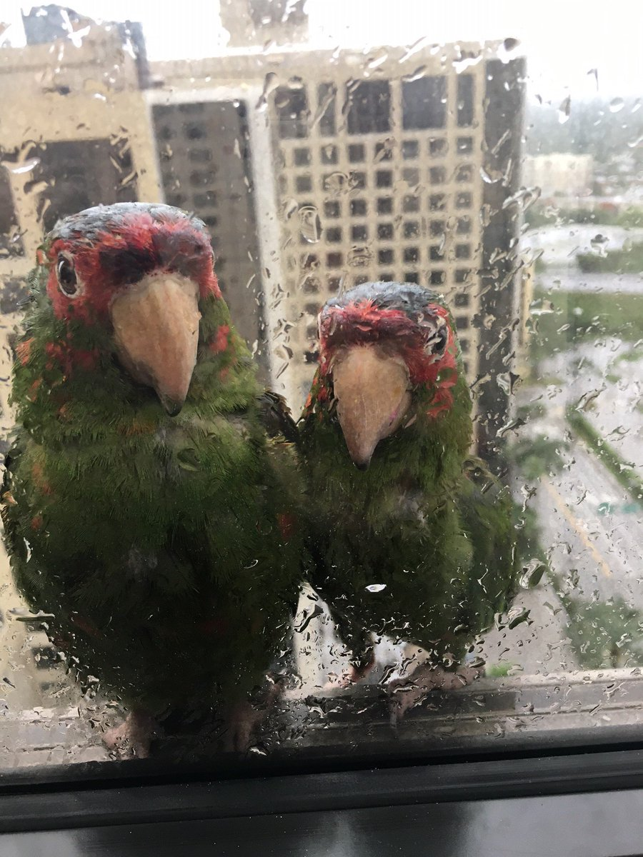 Two parrots seek shelter at the edge of a 22nd-floor window at Dadeland Marriott in Kendall #HurricaneIrma https://t.co/xLEiDeiNHl