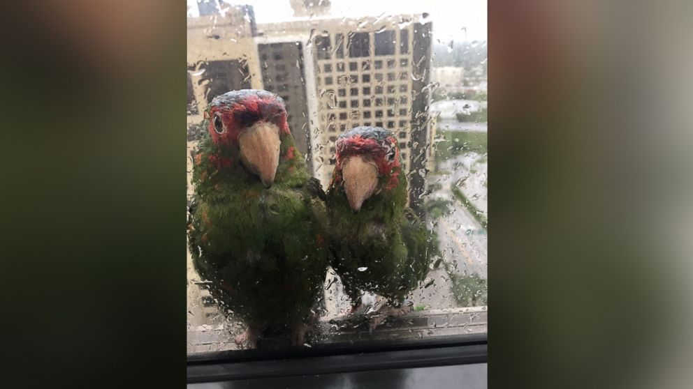 Parrots seek refuge from Irma on 22nd floor of Miami hotel https://t.co/mnKL0RPGSB