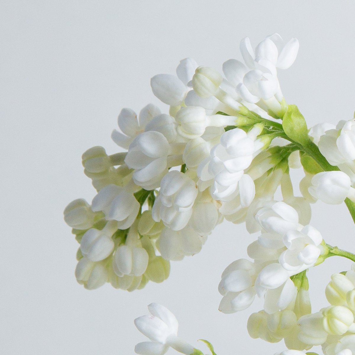 Floom On Twitter White Lilac Or Syringa Alba Comes From Greek