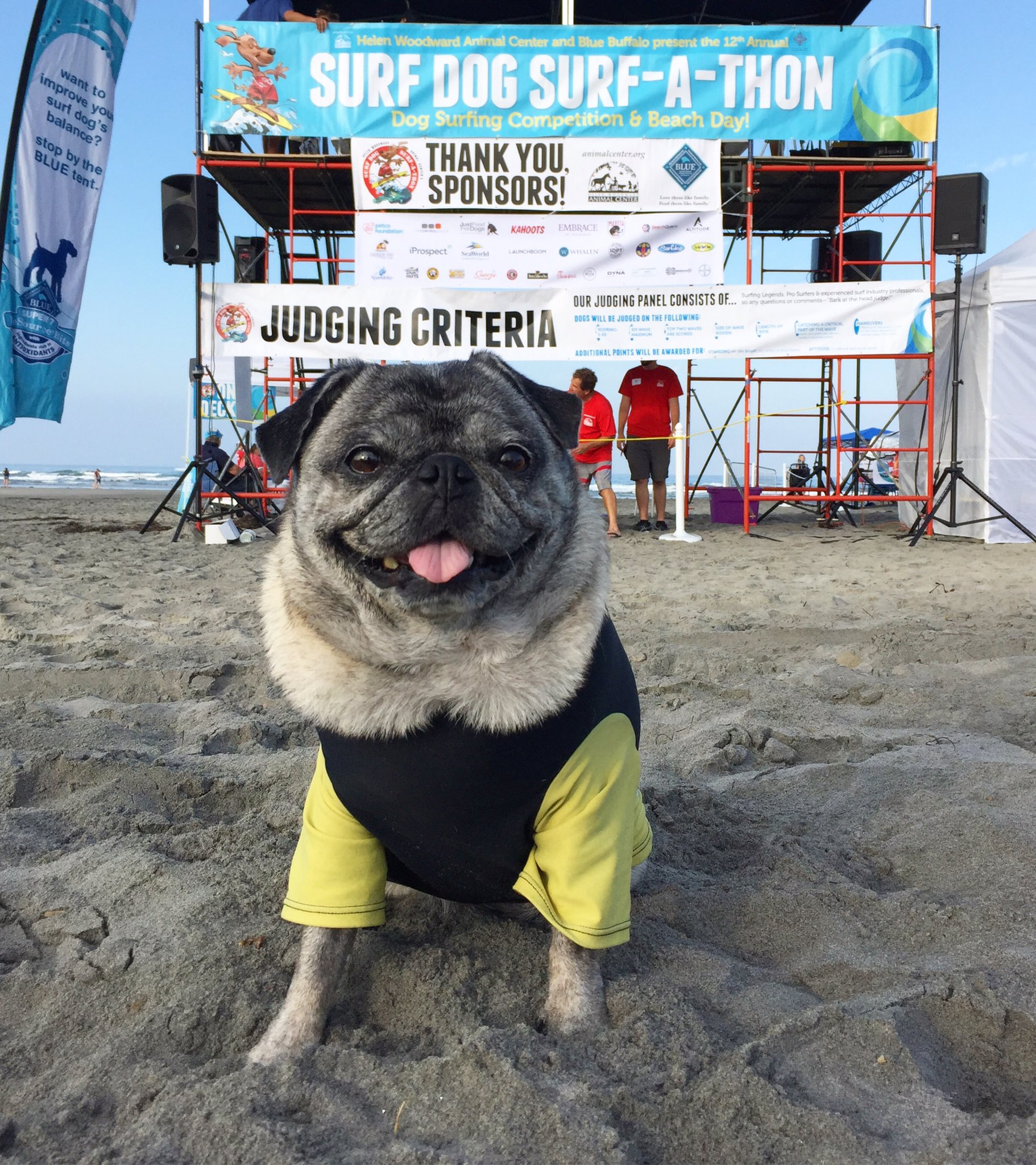 Brandy The Pug On Twitter Its About To Go Down Ready To Surf - Brandy the award winning surfing pug