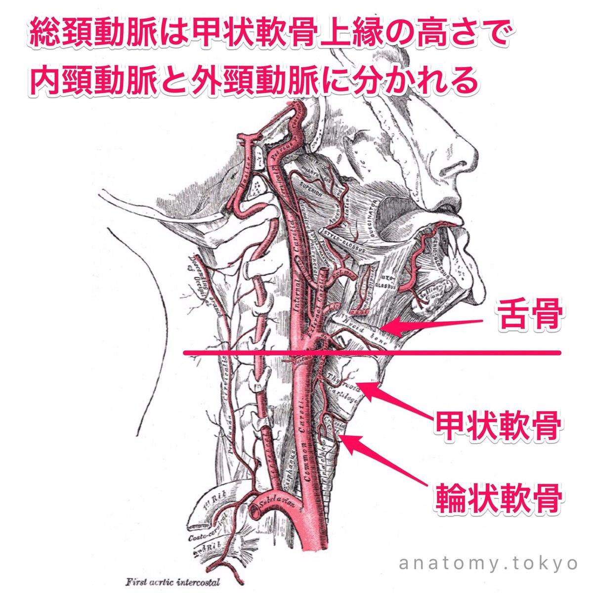 輪状 軟骨 軟骨 甲状