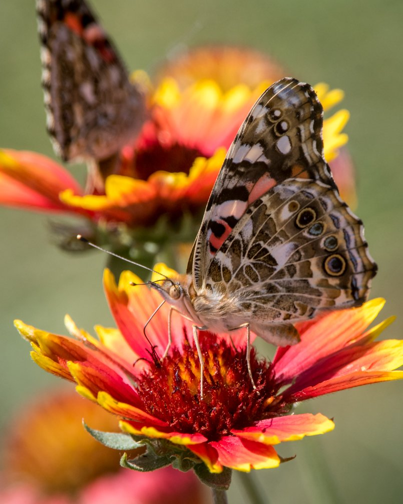 #SundayMorning! I&#39;m glued to the weather channel, but had to post these Painted Lady #butterflies on Indian blanket flower. #wildflowers <br>http://pic.twitter.com/pD78dCrpqx