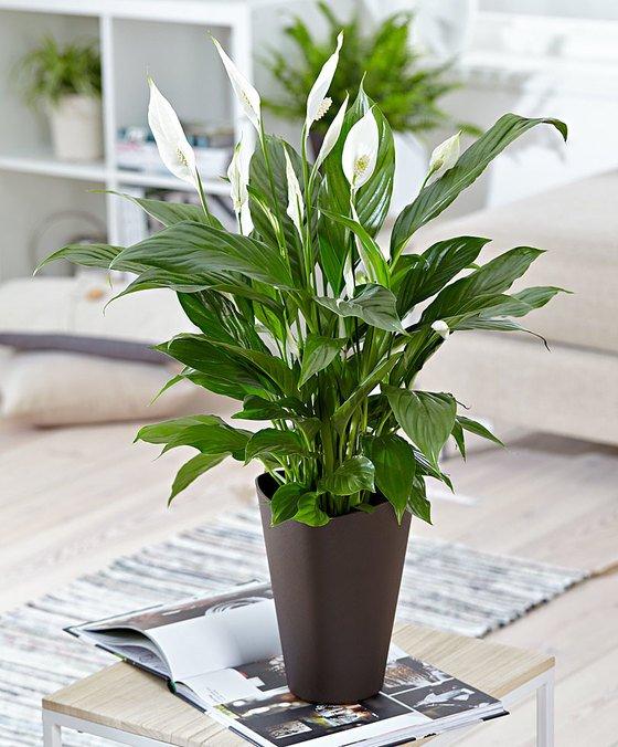 Eden dei fiori edendeifiori twitter for Spatifillo pianta