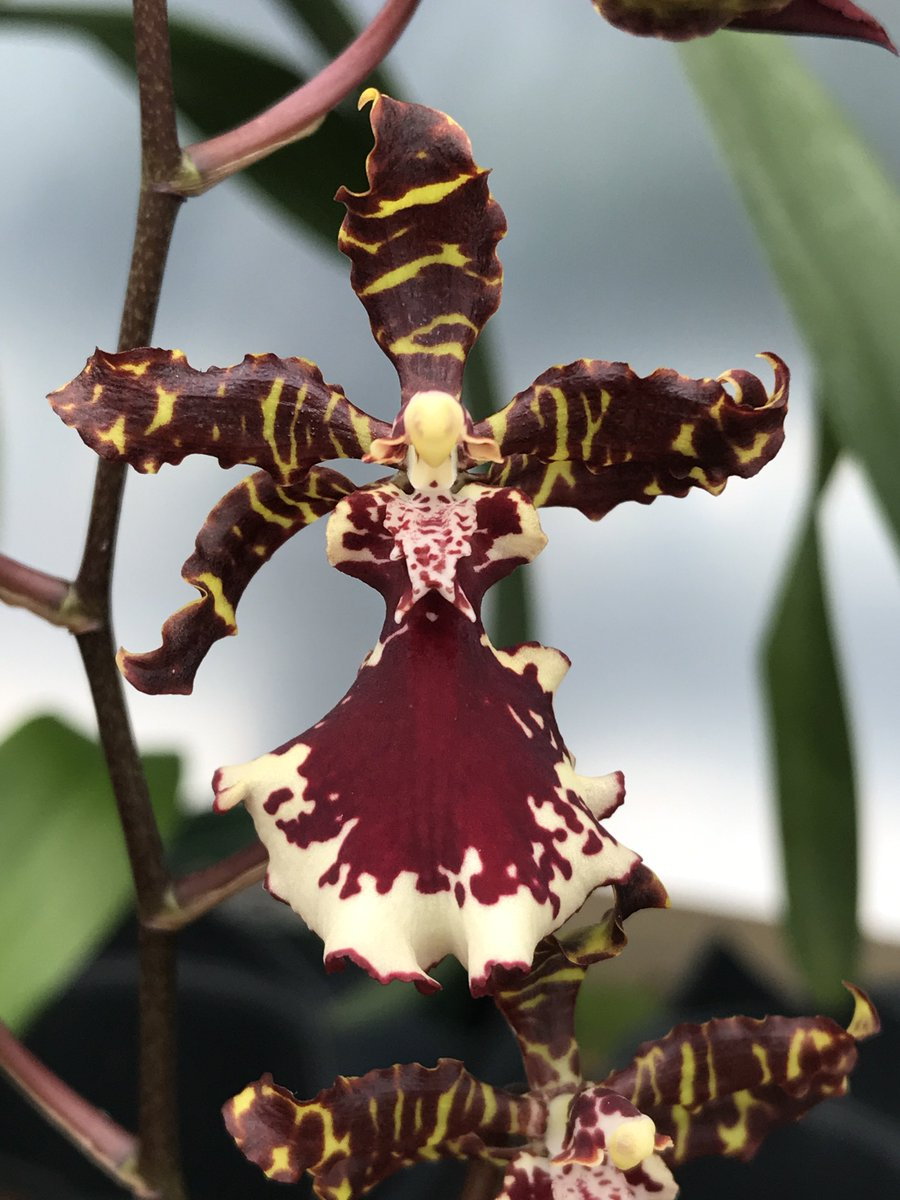 Thinking of family &amp; friends in Florida- Odontocidium Everglades Elegance 'Nancy Lee' #orchid #flowers #asheville #apptropicals<br>http://pic.twitter.com/s0HcjJB5bn