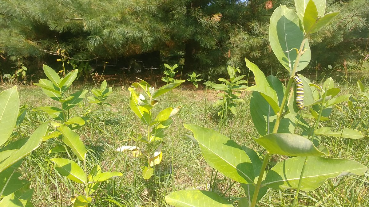 Glad to see our native area milkweed groupings are being put to good use #MonarchFood #Habitat https://t.co/v4OblYbh45