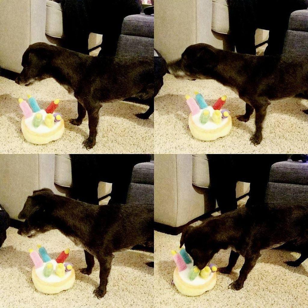 Sir Henry Morgan On Twitter Barking At My Singing Birthday Cake Toy Dogplaying Dogbarking Dogtoy Cutedog Birthdaydog Birthdaycake