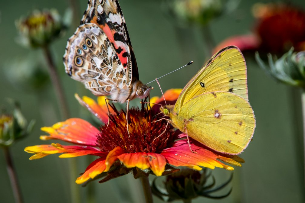 Faceoff – Painted Lady and clouded sulphur #butterflies on  Gaillardia pulchella. #wildflowers #flowers<br>http://pic.twitter.com/zdaY7OieZE