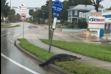 Alligator wanders into downtown Melbourne during Hurricane Irma https://t.co/BJqKGyKYwU