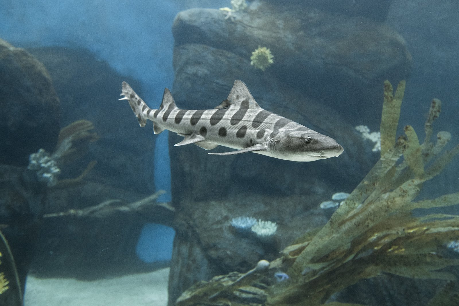 San Diego Zoo On Twitter How Do You Care For Leopard Sharks In