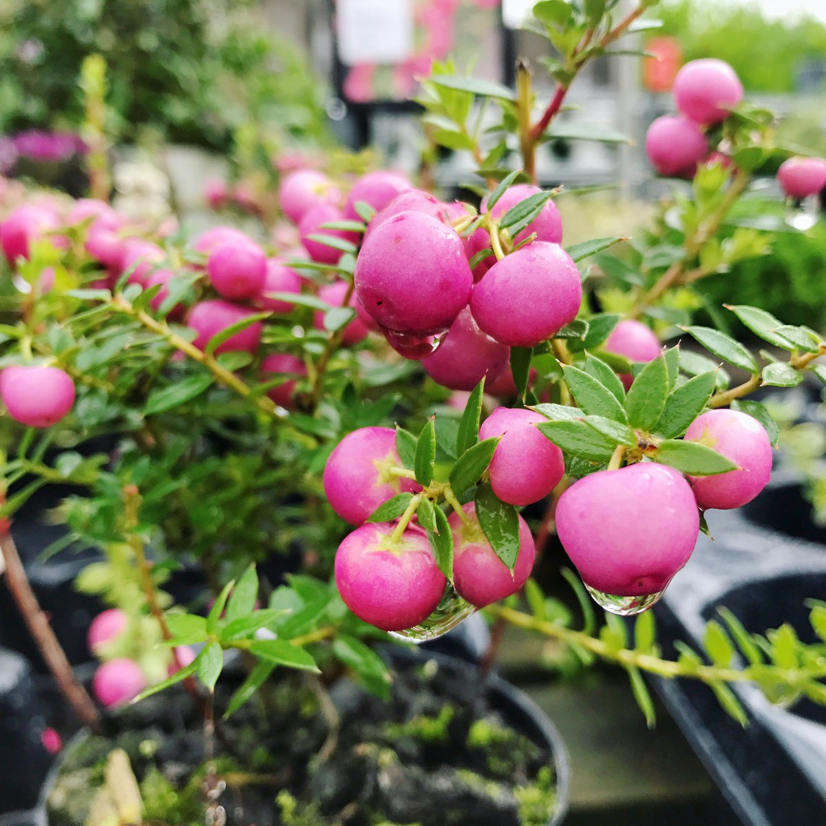 Pernettya Pink.Silverbirch Garden Centre On Twitter Pretty Pernettya The Female Variety Of This Evergreen Shrub Sports Beautiful Pink Berries In Winter Pernettya Pink Evergreen Https T Co Ebpn6iunsx