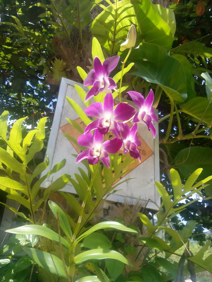 Hi! Twitter friends, here&#39;s beautiful #orchids for you from the island of #Philippines.<br>http://pic.twitter.com/yl7KisVIE1