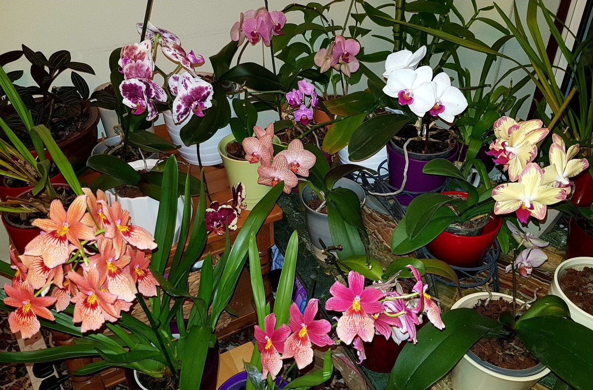 Everything I have in flower #orchids <br>http://pic.twitter.com/ZmfCgW9Ims