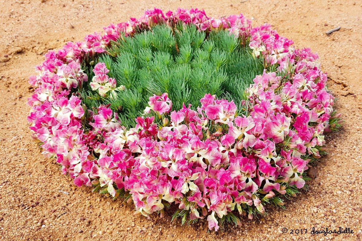 Lechenaultia Macrantha Wreath Flower