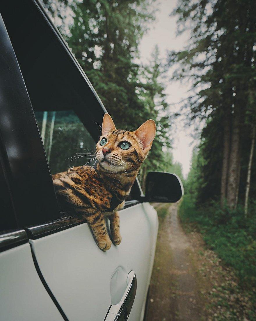 Картинки по запросу бенгальская кошка