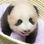ジャイアントパンダ「シンシン」の子が90日齢を迎えた2017年9月10日、11回目の身体検査を実施し…
