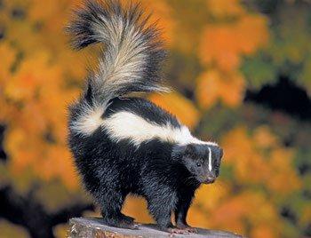 Image result for skunk in marathi
