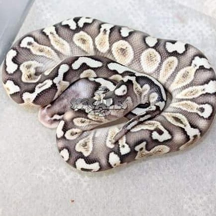 Love this by Ssscales!!! #snake #ballpython #ballpythons #pets #pet #snakes  #reptiles #SNAKEPIC #picoftheday #PICOFDAY<br>http://pic.twitter.com/doeWzedG5v