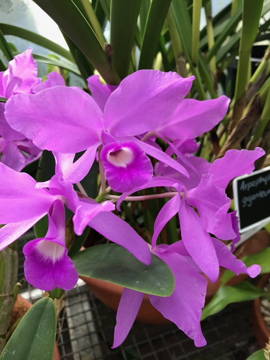 The #Orchid Cattleya skinneri flowering in #Latitude23 @RBGSydney is the National Flower of #CostaRica Smells divine! #Orchidaceae<br>http://pic.twitter.com/Ot24coPVaU